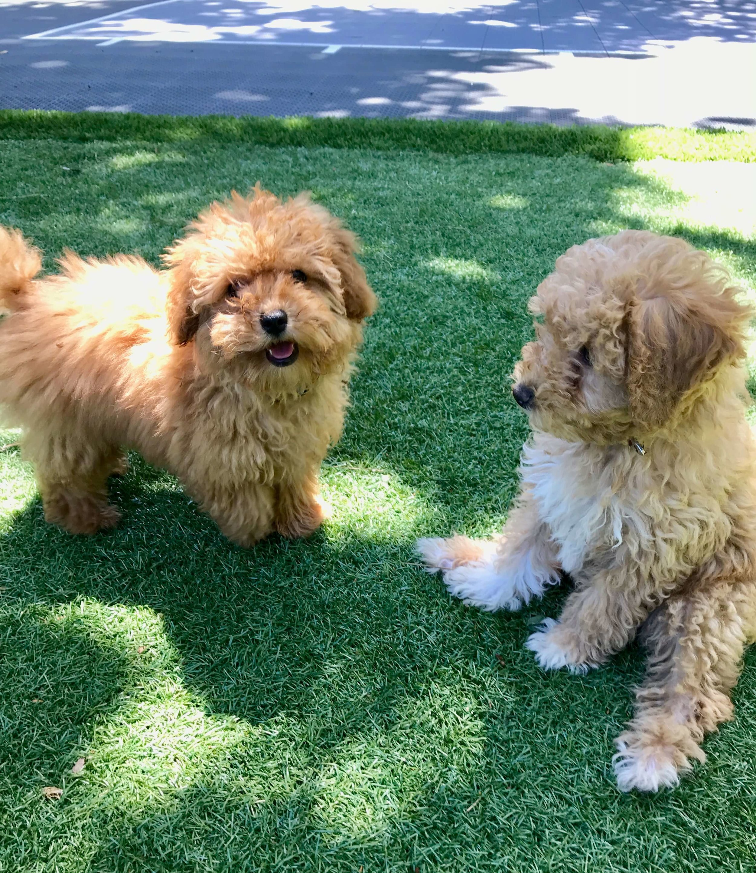 Goldendoodle puppy socialization with Dog Savvy Los Angeles, a puppy training company in Los Angeles.