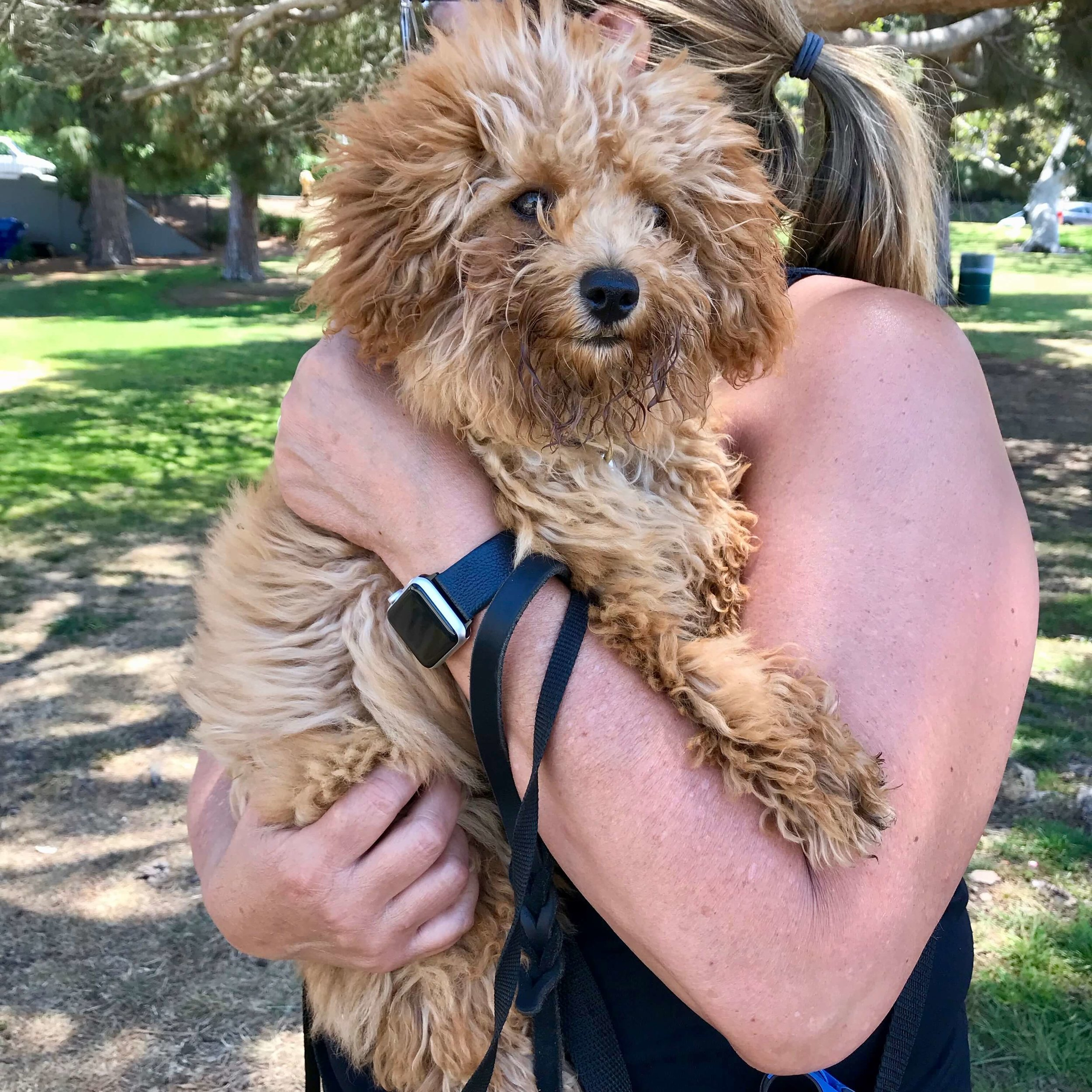 Puppy socialization: A Goldendoodle puppy being carried through the park so that it can meet people without being on the ground.