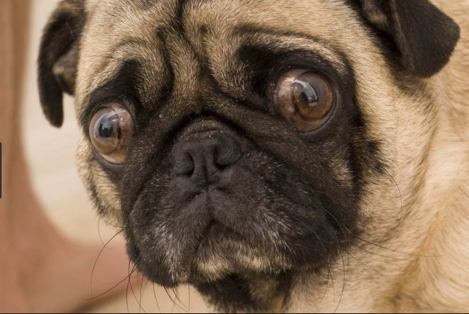A dog with separation anxiety will become distressed when you leave their line of sight.