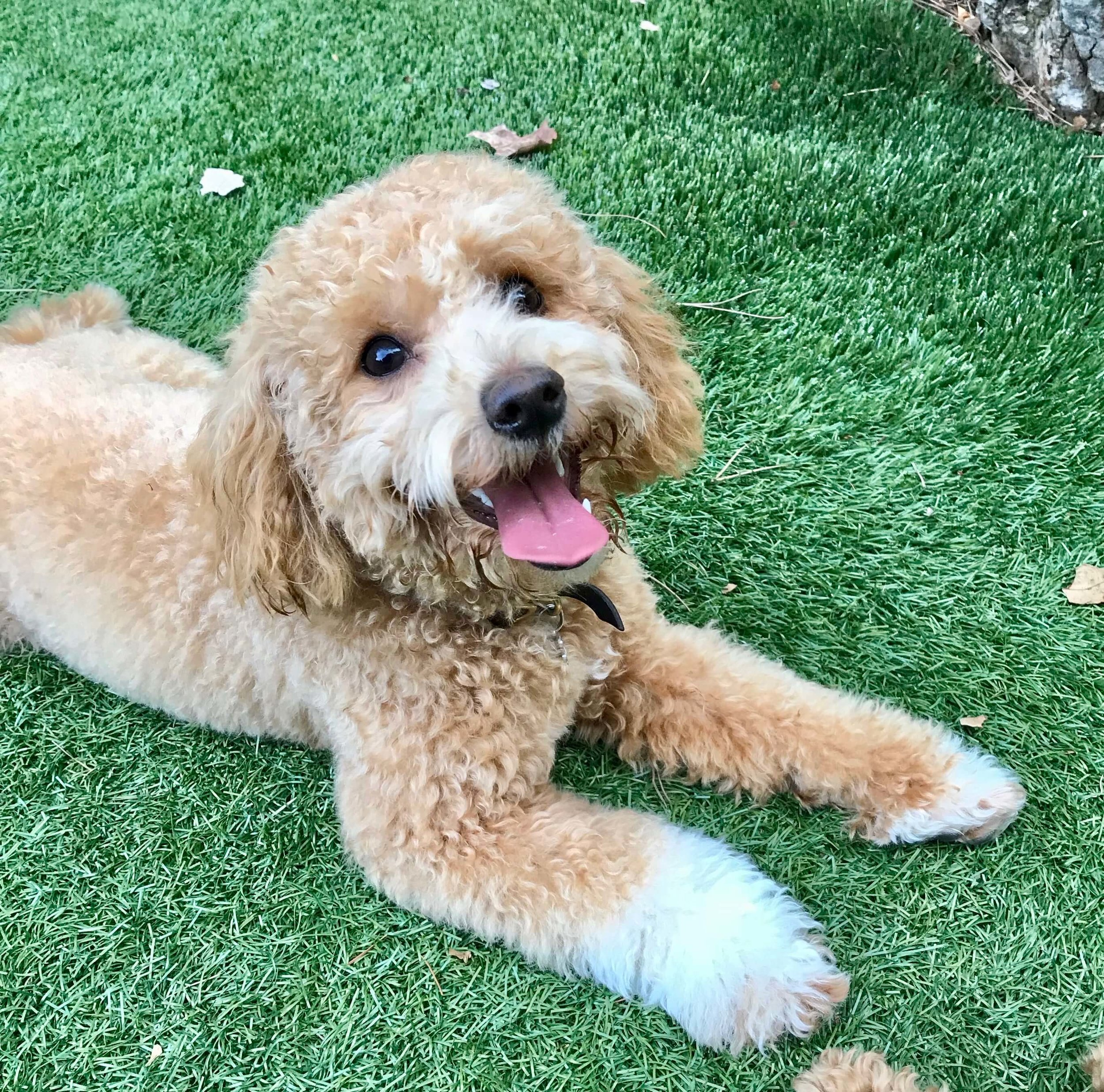 How to train a Goldendoodle puppy to lay down.