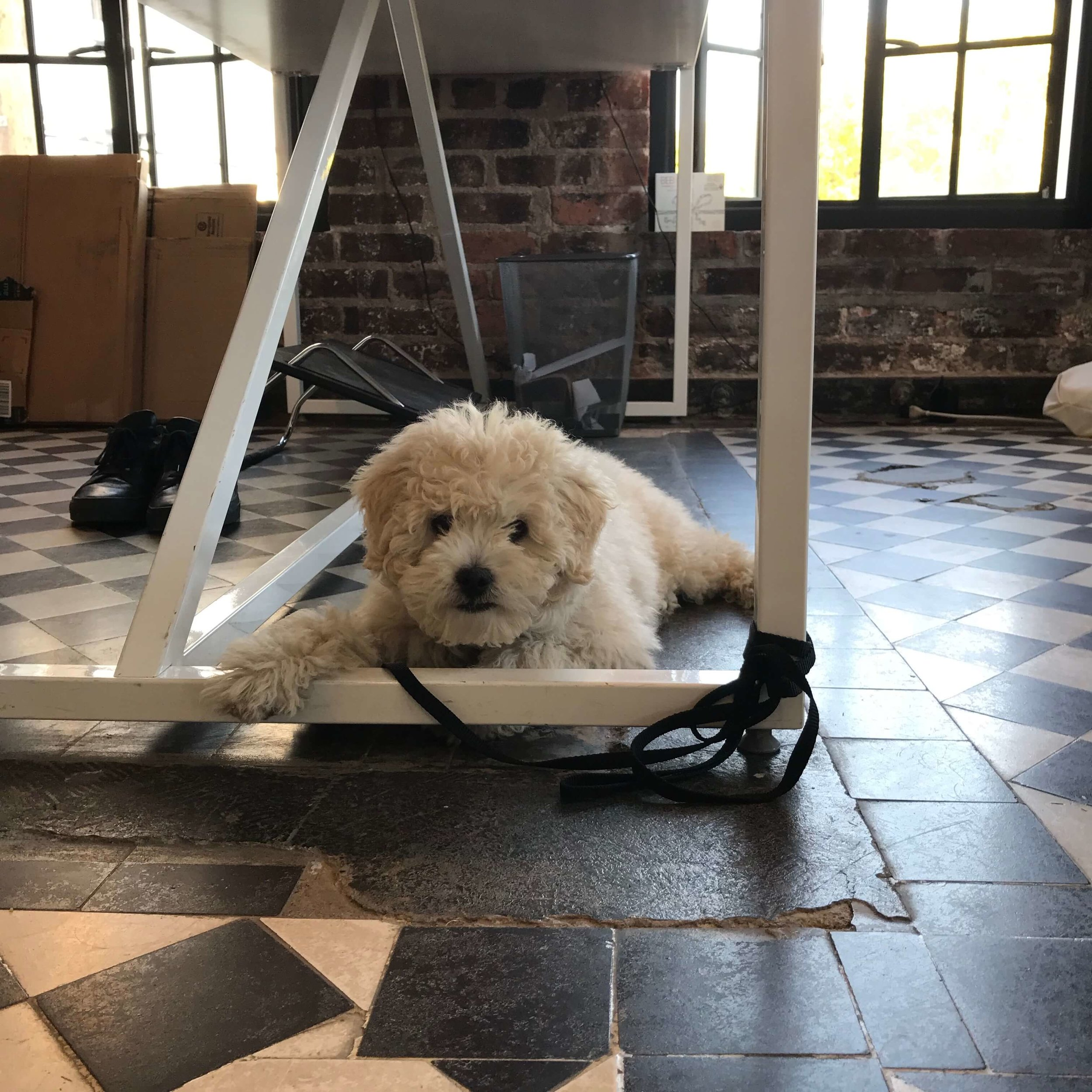 Maltipoo puppy with separation anxiety learning to calm down.