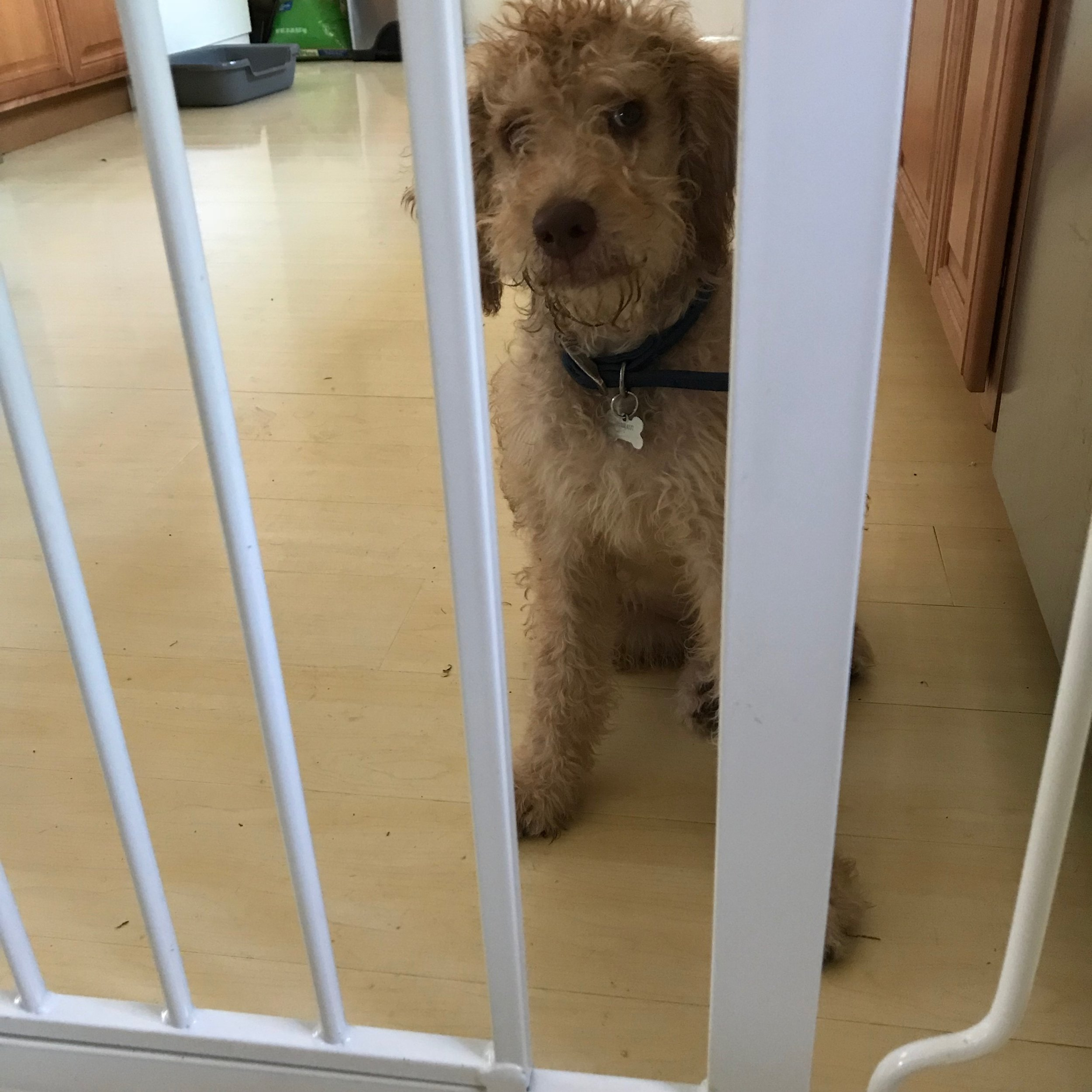 Step 1: To start the calming process, put a dog or puppy behind a gate and remain nearby, standing on the other side of the gate, but withdrawing all engagement like eye contact, petting, and talking.
