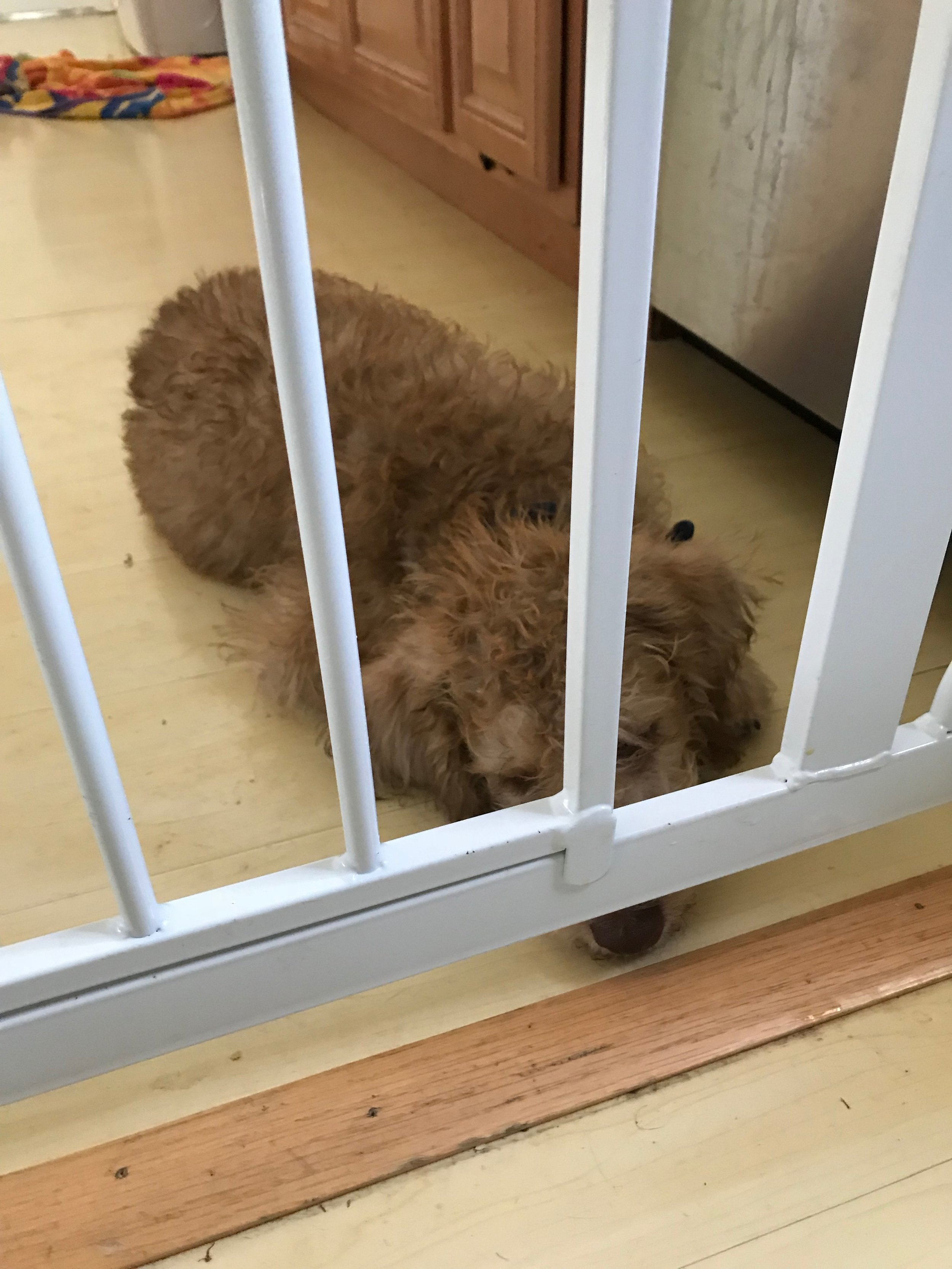Step 2: Wait for the dog or puppy to go through the self-soothing process until they are completely settled down, and then open the gate to both release them and reinforce the calming process.