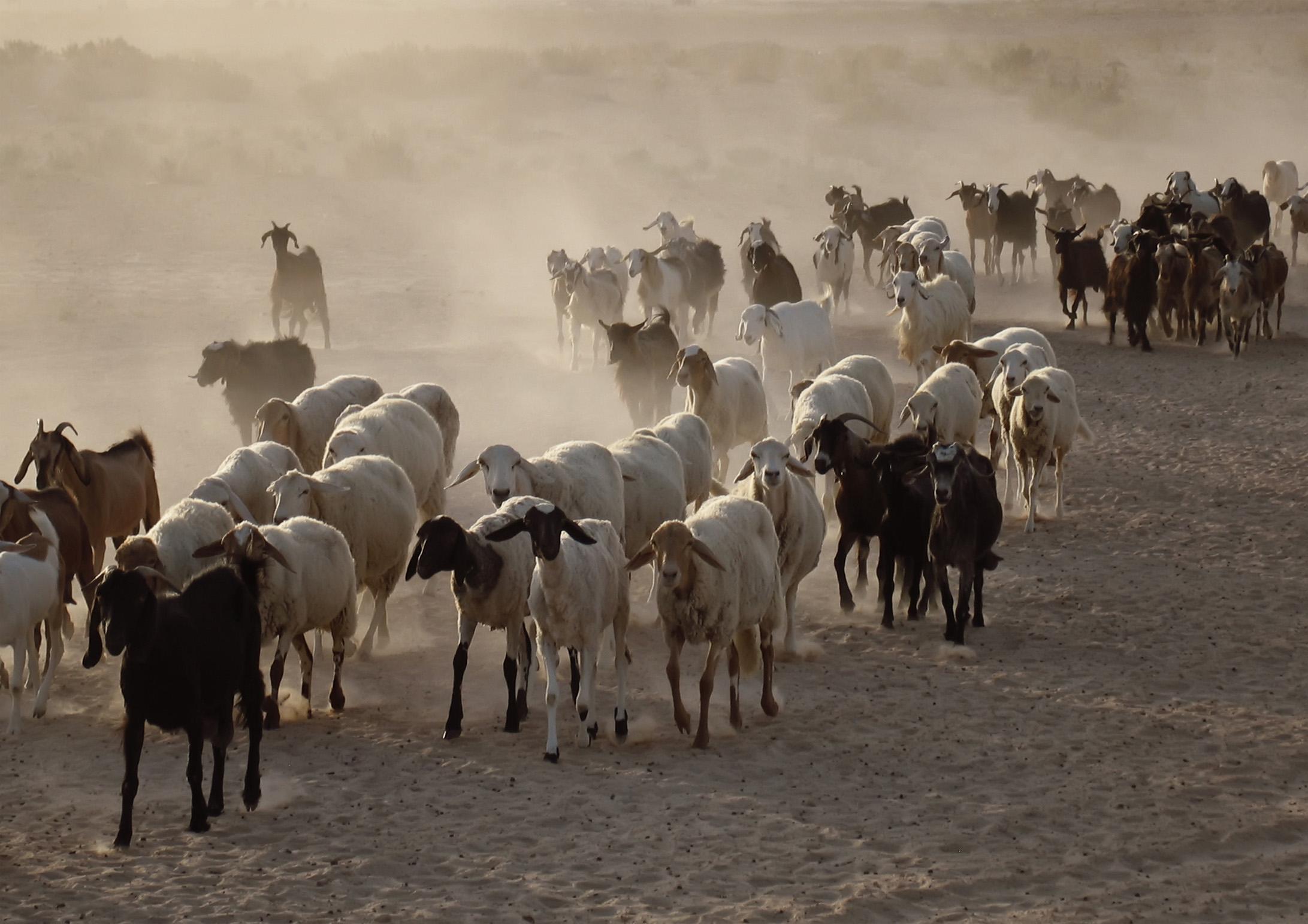 Melinda Isachsen JANIS Photography & Fine Art sheep goats Tunisian desert
