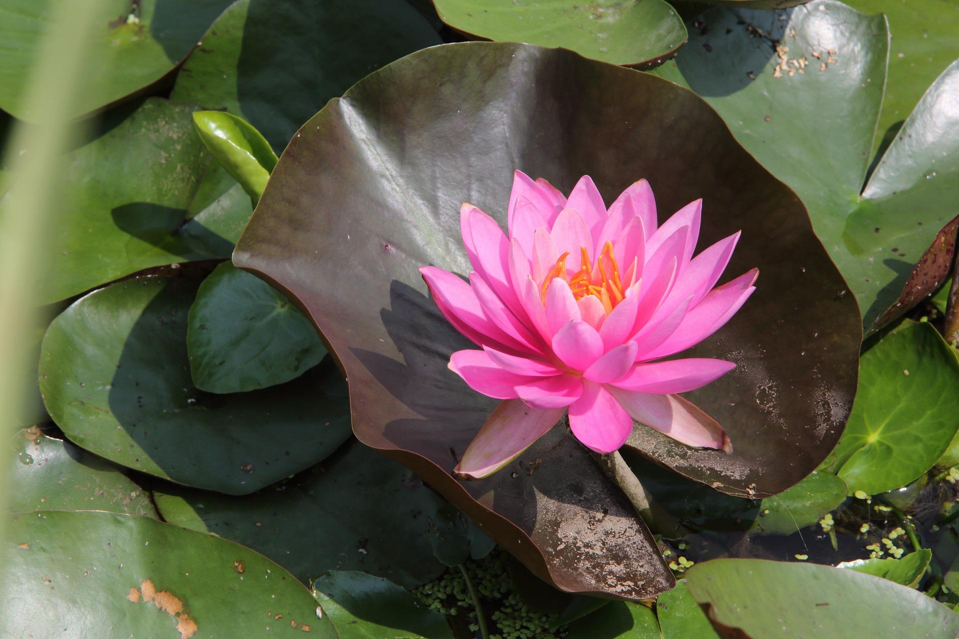lotus-1330389_1920.jpg