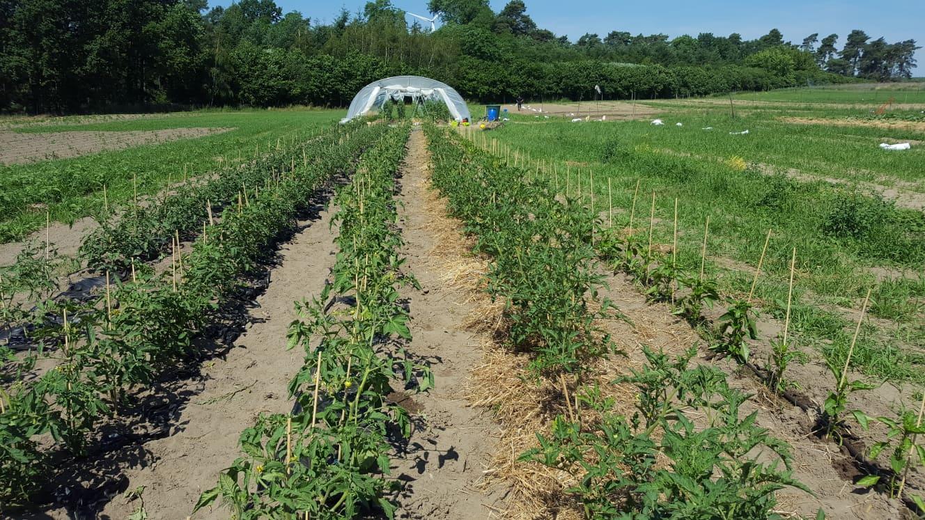 Die Tomaten konnten nicht länger warten und wurden bereits ins Freiland gepflanzt