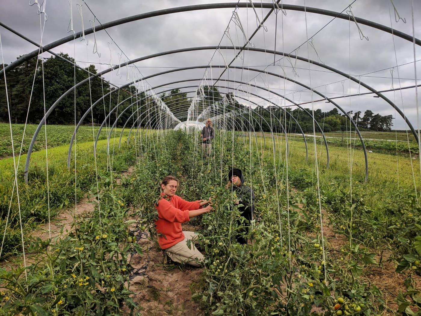 An Schnüren werden die Tomaten hoch gebunden, damit sie nicht auf dem nassen Boden liegen