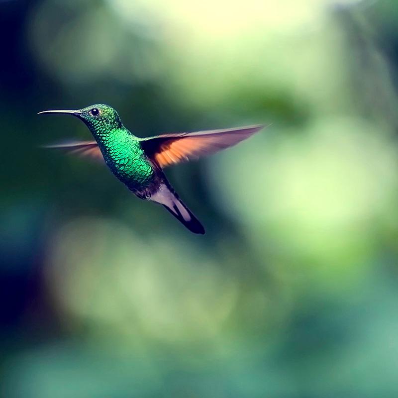 hummingbird-2139278_square.jpg