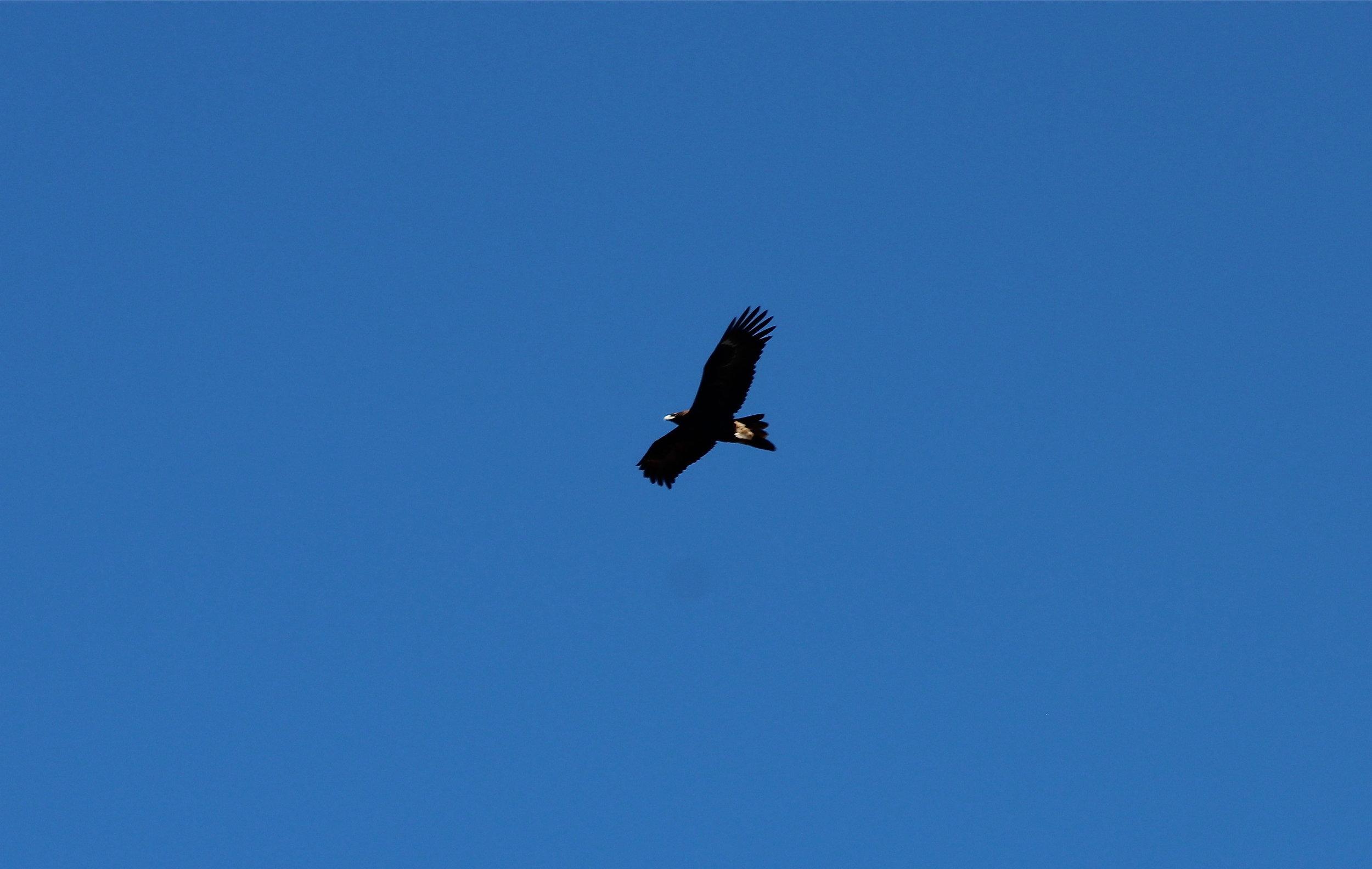 wedge tail eagle.JPG