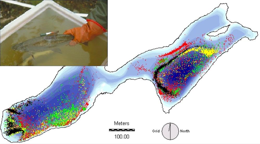 whitefish-telemetry-acoustics.jpg