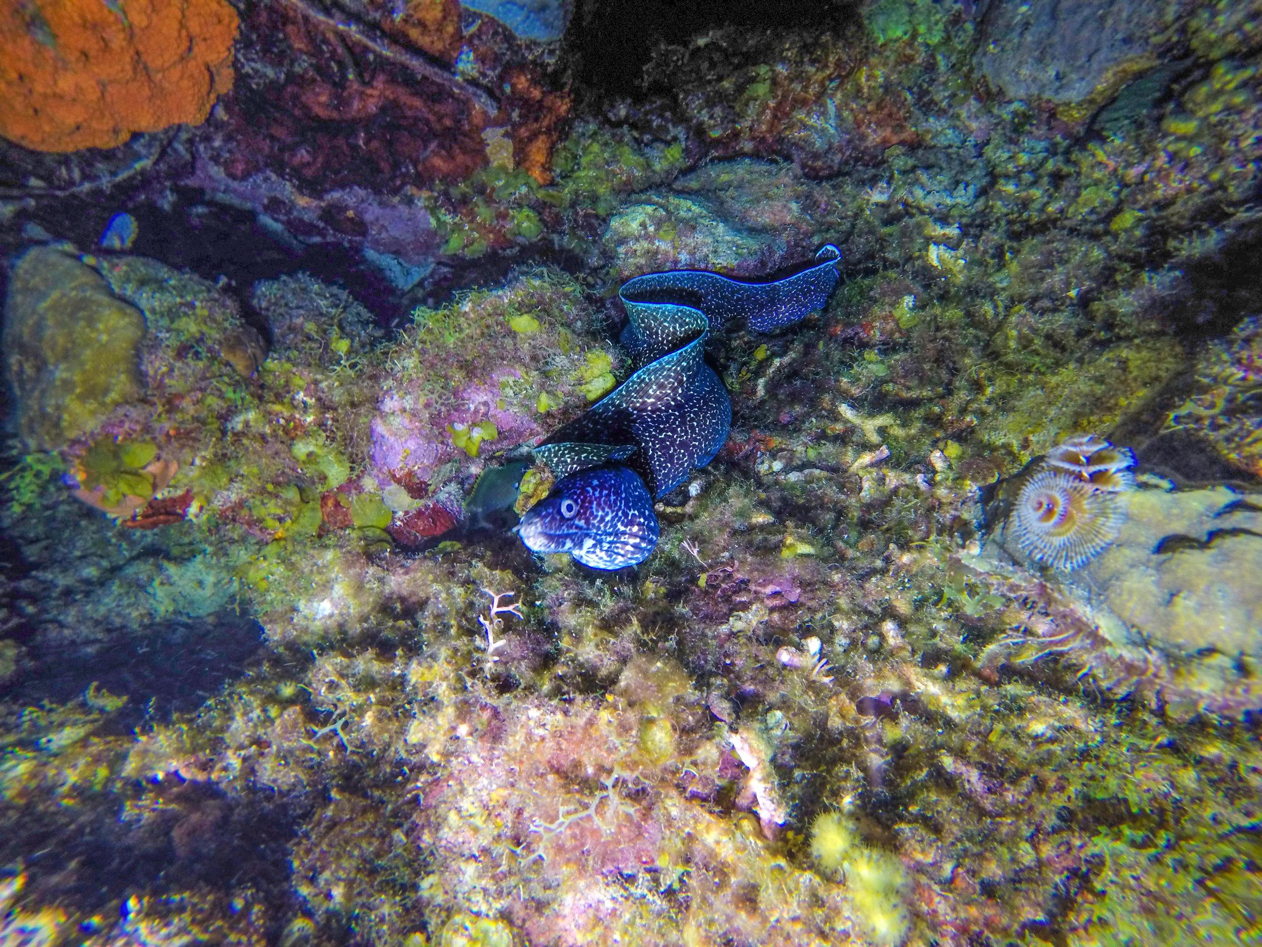 spotted eel in curacao.jpg