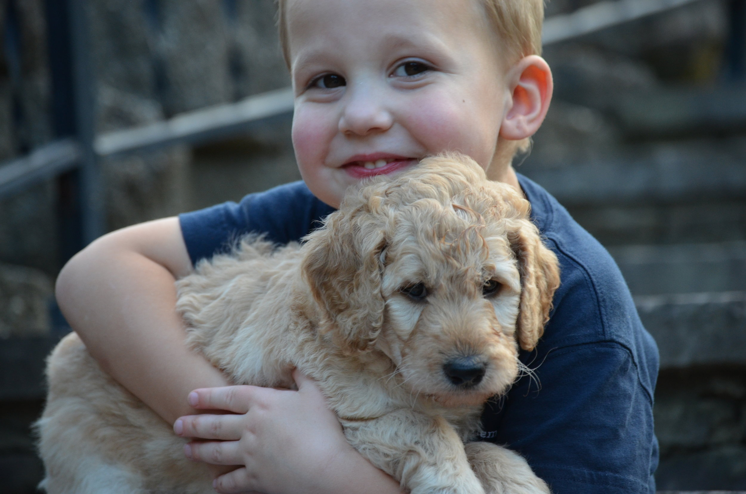 Sweetpea is an apricot Labradoodle who loves children