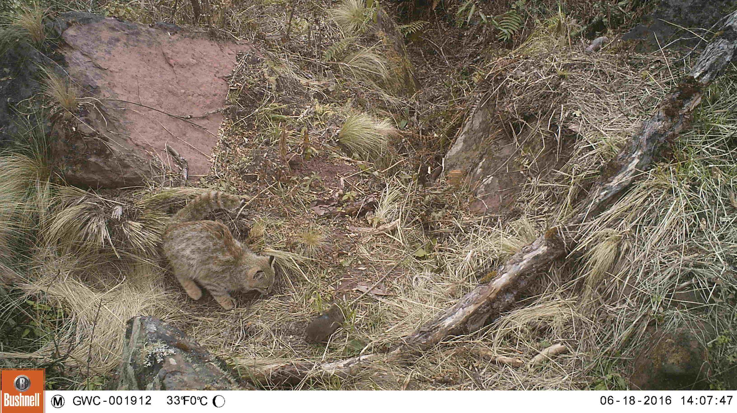 CV Cat from Trap Camera.jpg