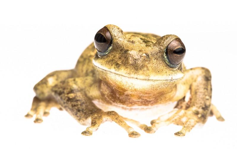 Hypsiboas andinus Tree Frog