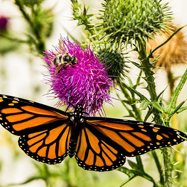 Sharing a drink #sharingiscaring #ilovewisconsin #butterfliesandbees #gardenphotography #wisconsinphotographer #lakecoast #manitowoc #naturephotography #canonusa #stopandsmellthethistles