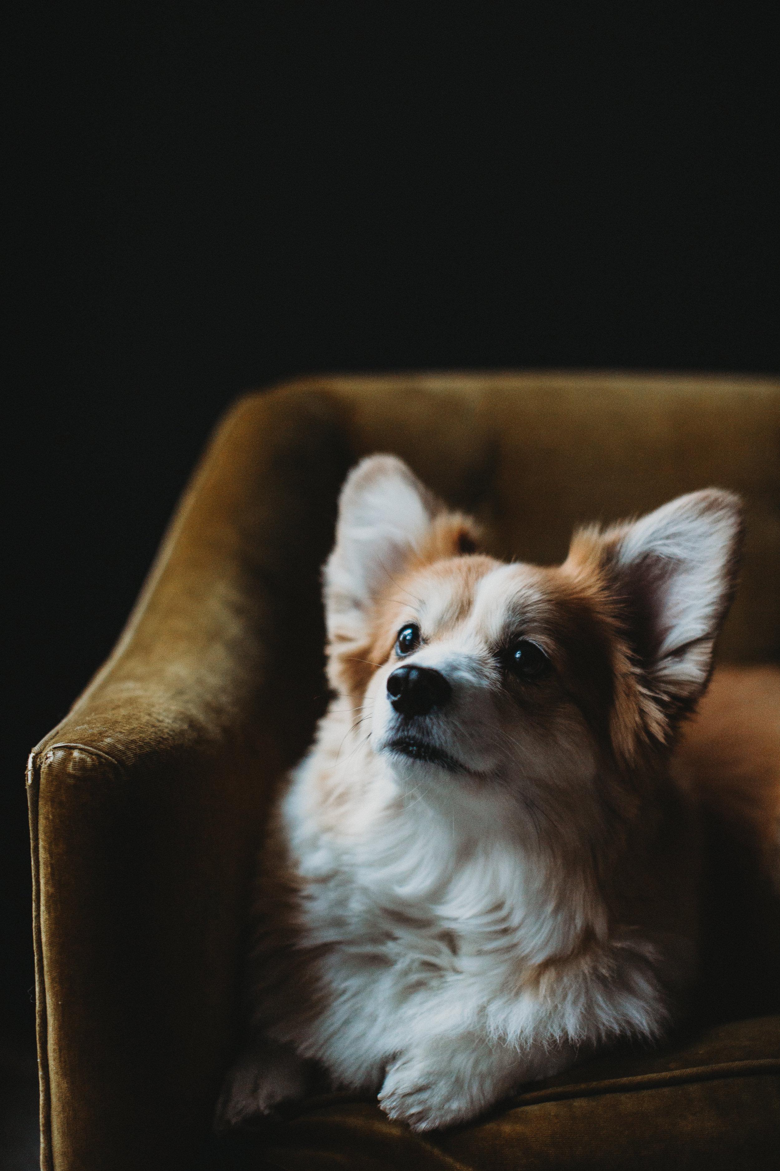 Using treats to get corgi in Boston family photos. Sudbury family photographer / pet photographer.