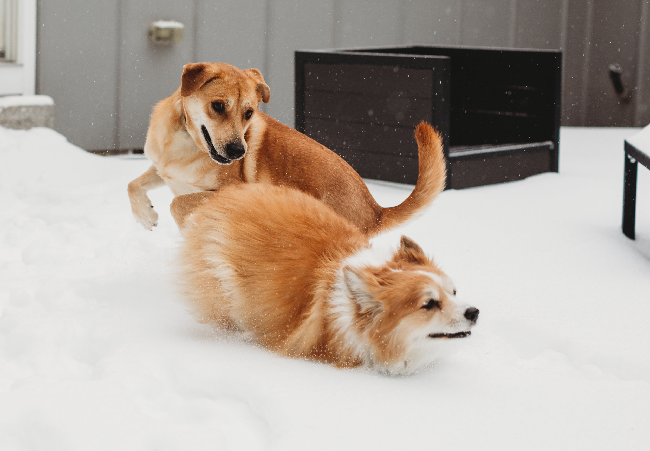 Kona and Louie playing in the snow! Kona has her winter coat. Fluffy corgi, rescue dog. Boston photographer.