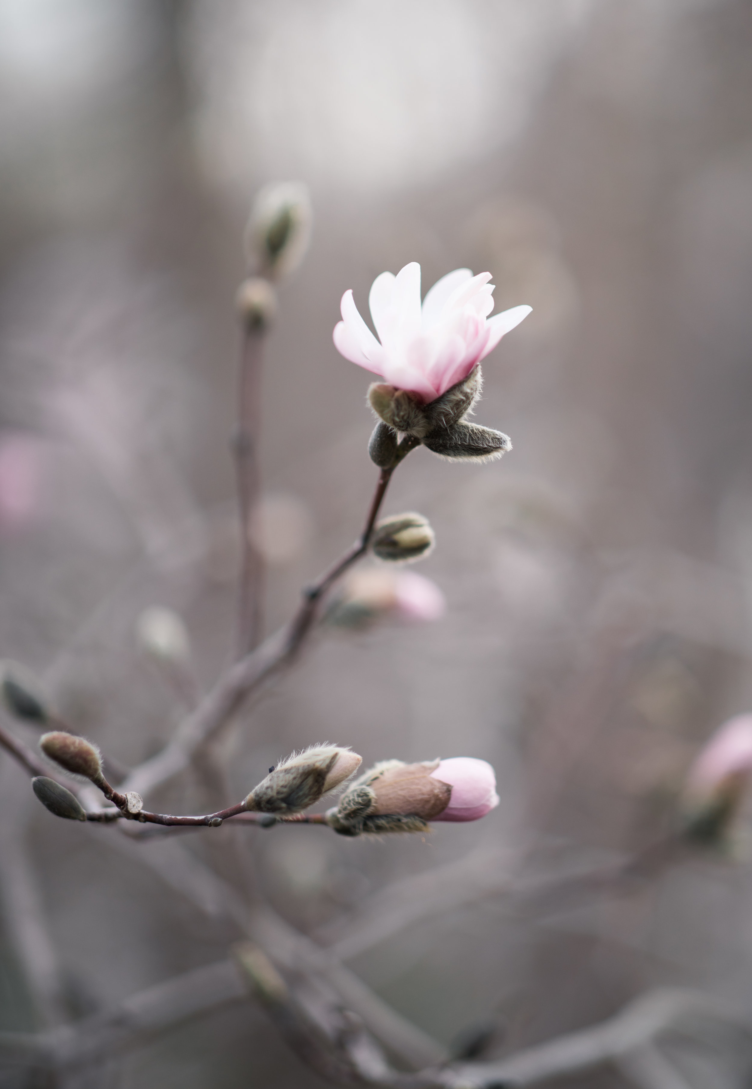 Close up of springtime blossoms at the Arnold Arboretum. Boston family photographer location scouting.