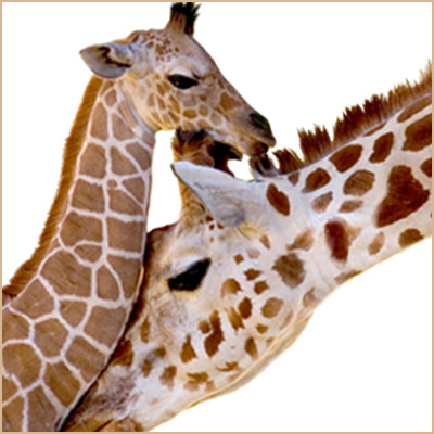Giraffe mother and baby 400 x 400 zoomed in - border.jpg