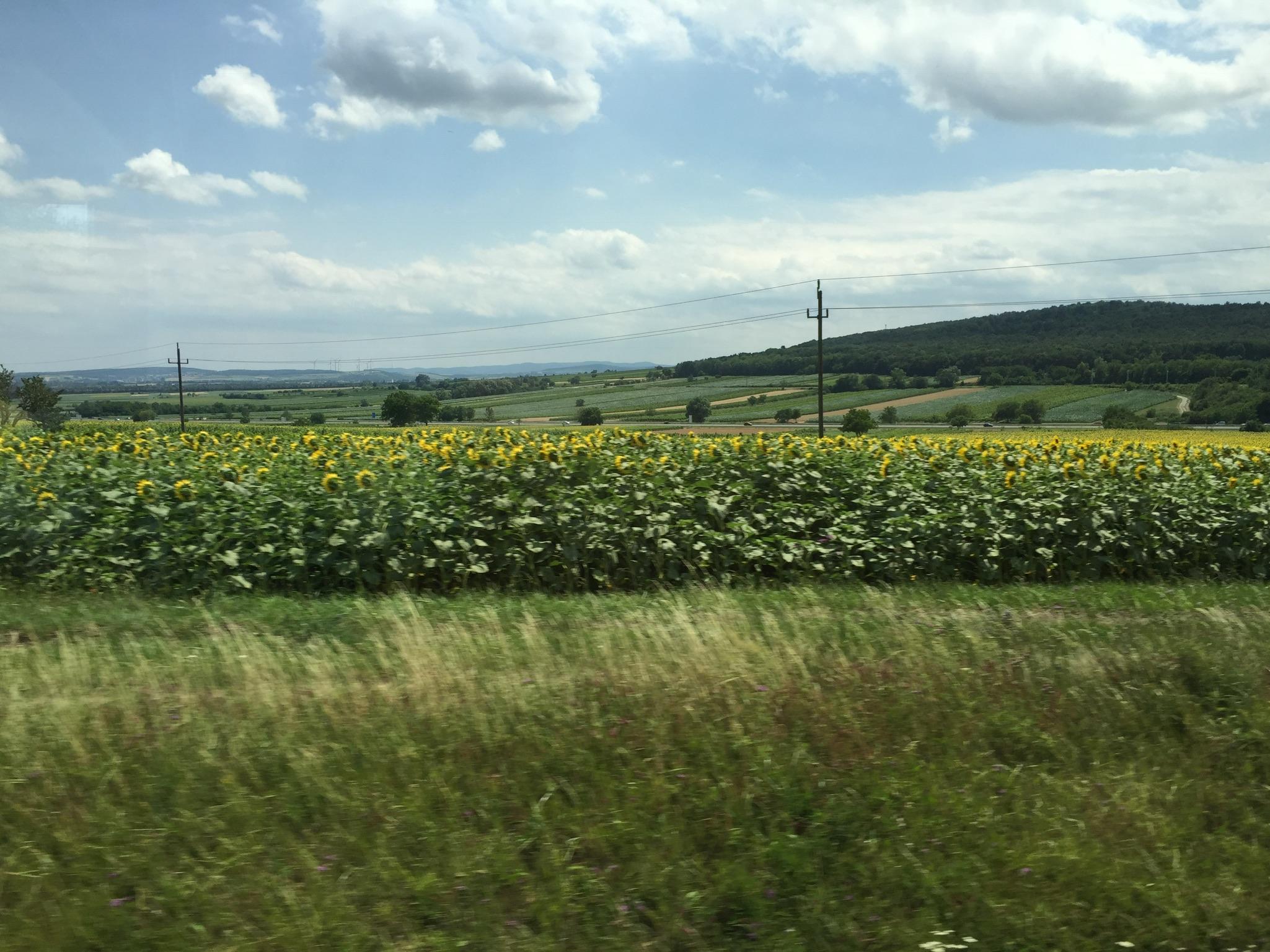 Sunflower fields on our way to Eisenstadt.