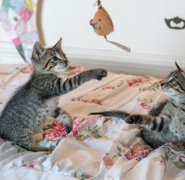 kittens-cats-foster-playing-160755.jpeg