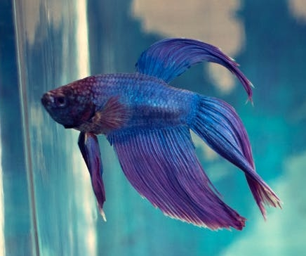 A  Betta splendens . That's a straight-up Dad joke right there.