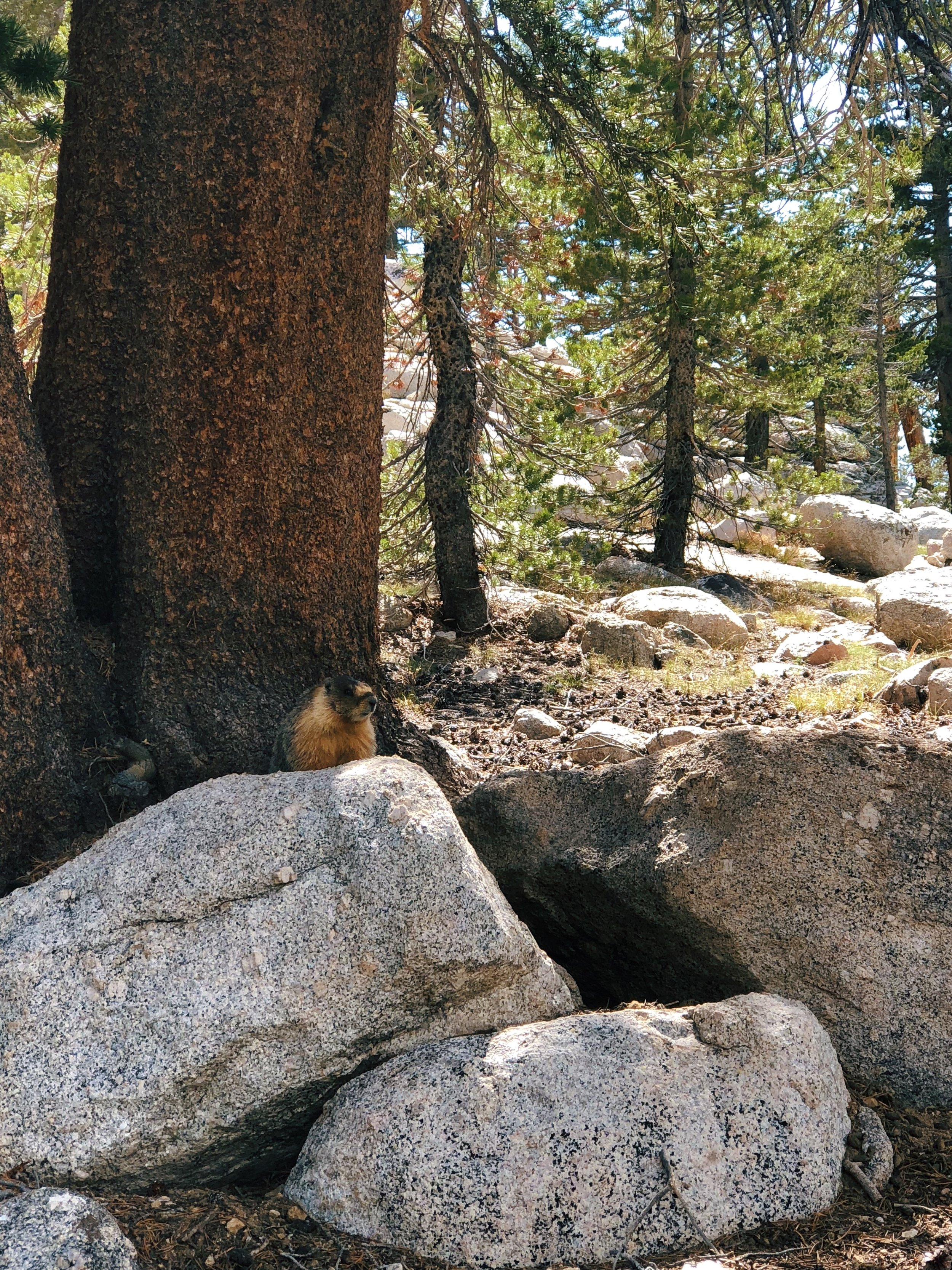 Marmots are everywhere!