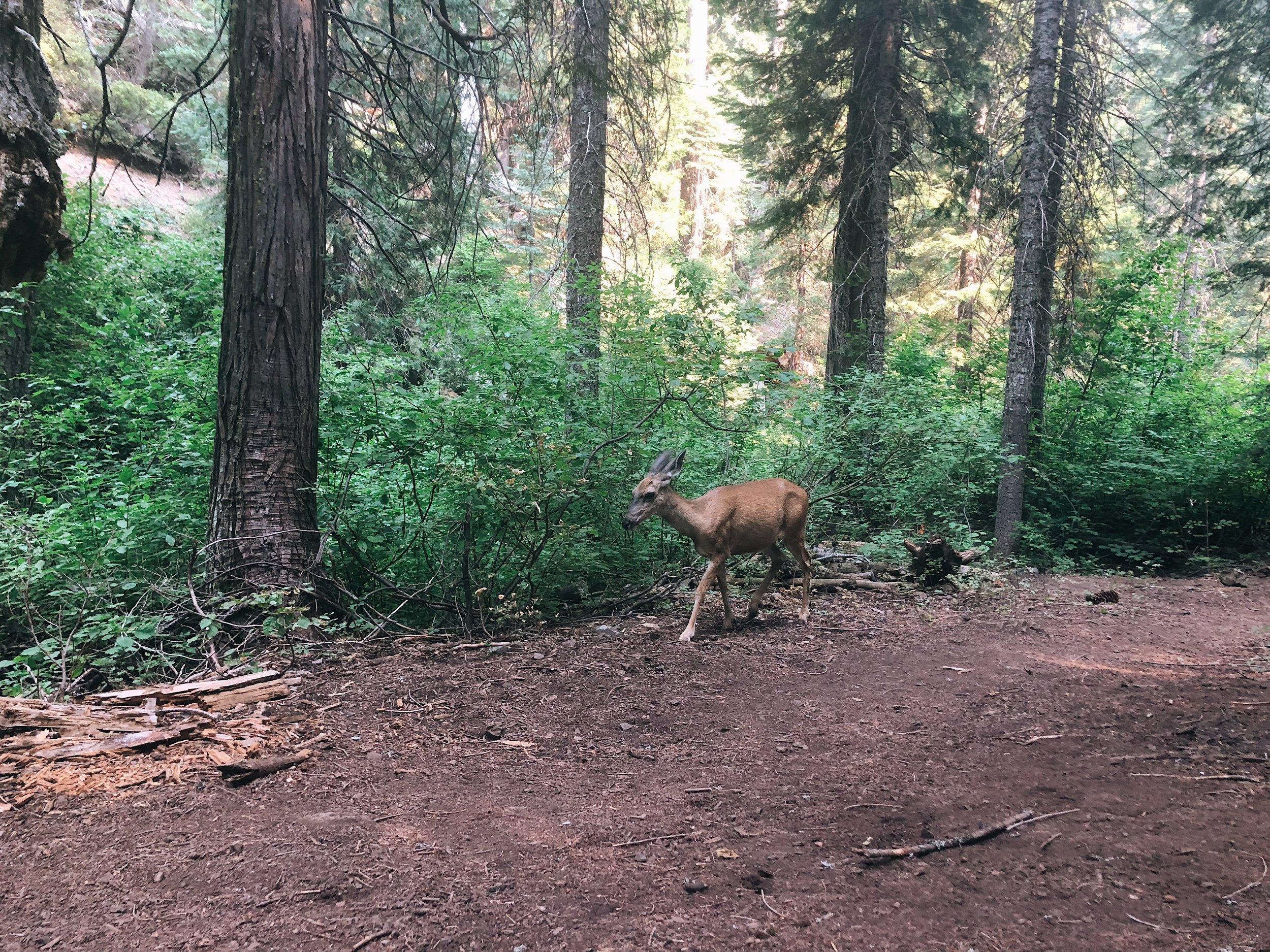 Not the lunch deer, but a different fearless deer