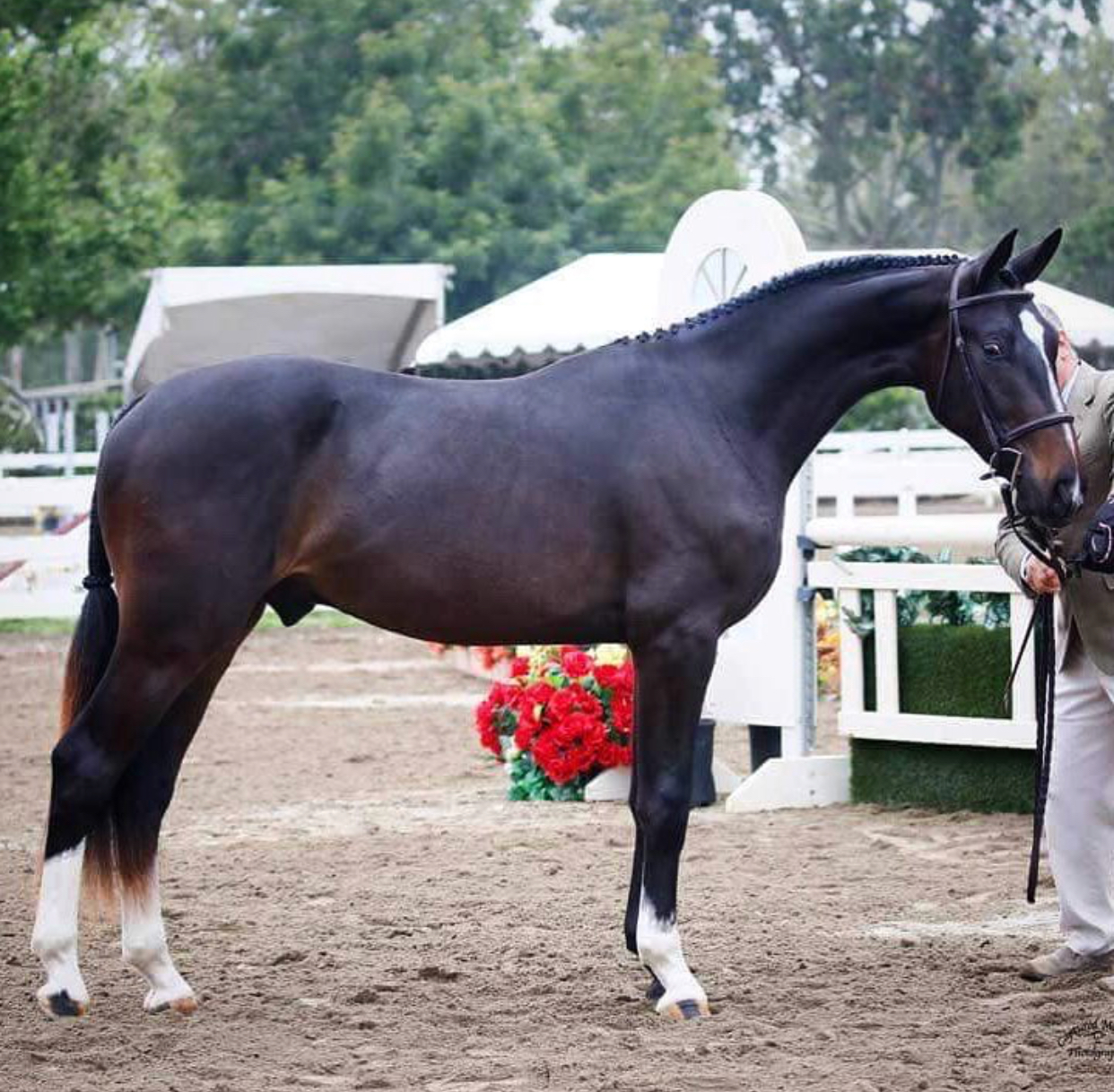 Raphael - 2015 Premium Oldenburg gelding by Rotspon x Reggae (by Rubin Cortes). Owned by Tim Keeling.