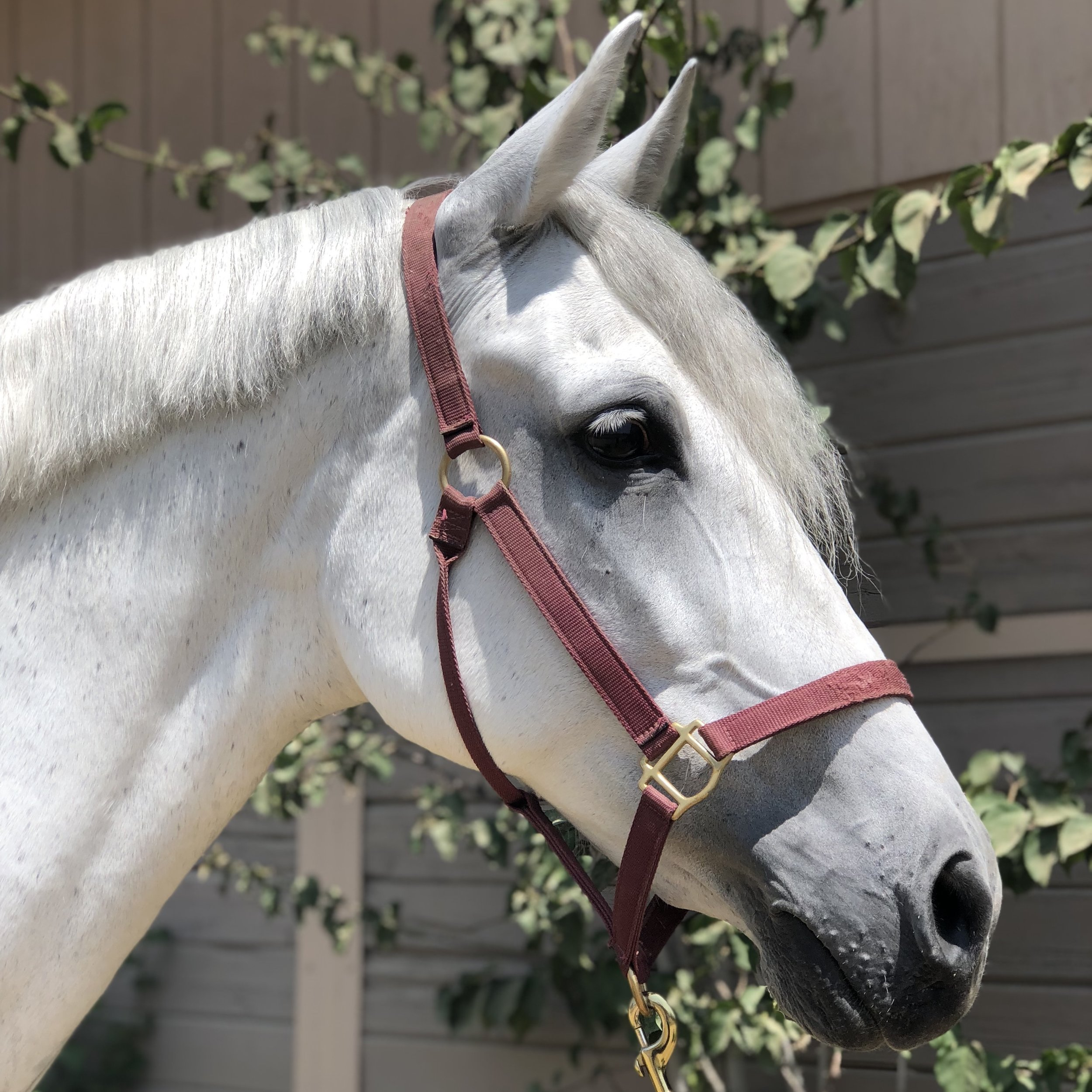 Oso Andy - Half-Andalusian gelding owned by Mindy Rennacker. Bred by Tim Keeling.