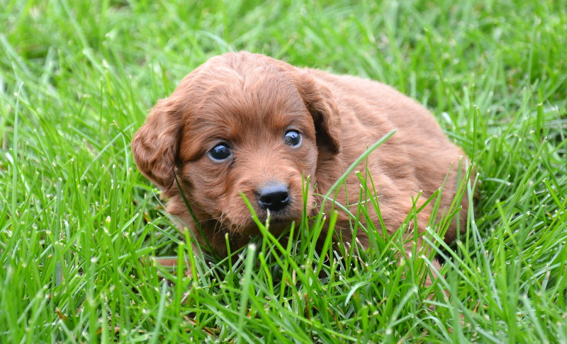 Other Recommended Sites Red Goldendoodle Puppies