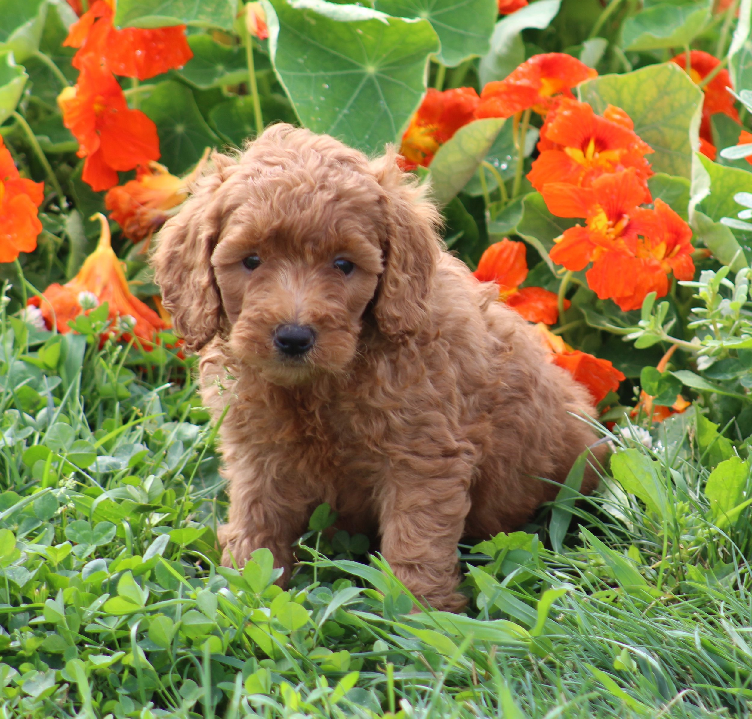 Locations Red Goldendoodle Puppies