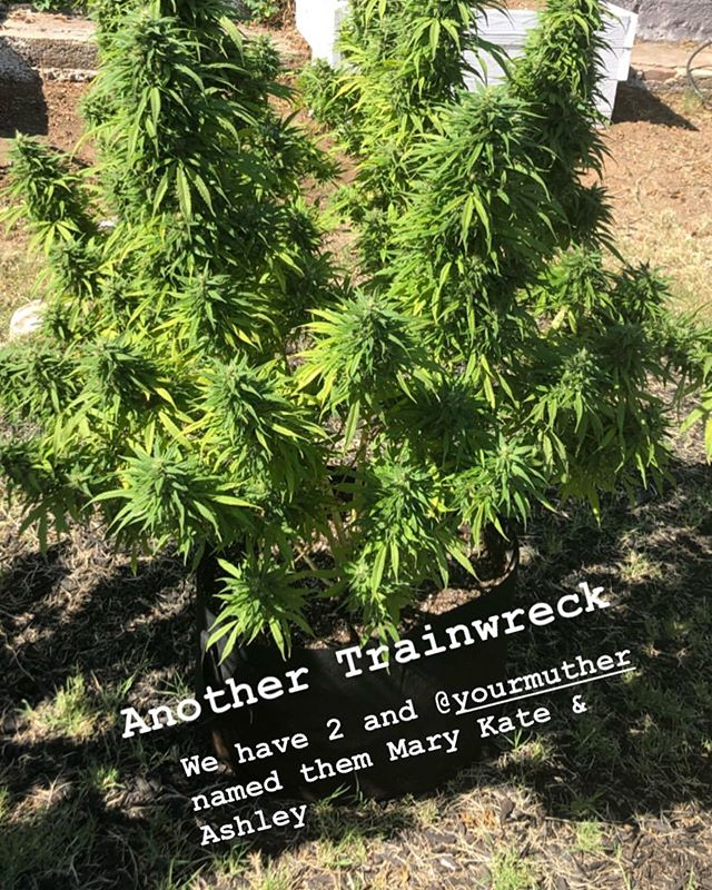 What are you harvesting this year??? 😩 Do you give your plants names? . . . . . #420queer #420 #queer #trainwreck #marykateandashley #marykate #ashley #cannabis #queergrower #puffpuffpass #harvest #sativa #indica #hybrid #thc #queerstoner #cannaqueer #gaystoner #transstoner #nonbinarystoner #lesbianstoner #outdoor #harvest #weedporn