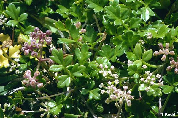 Apium prostratum