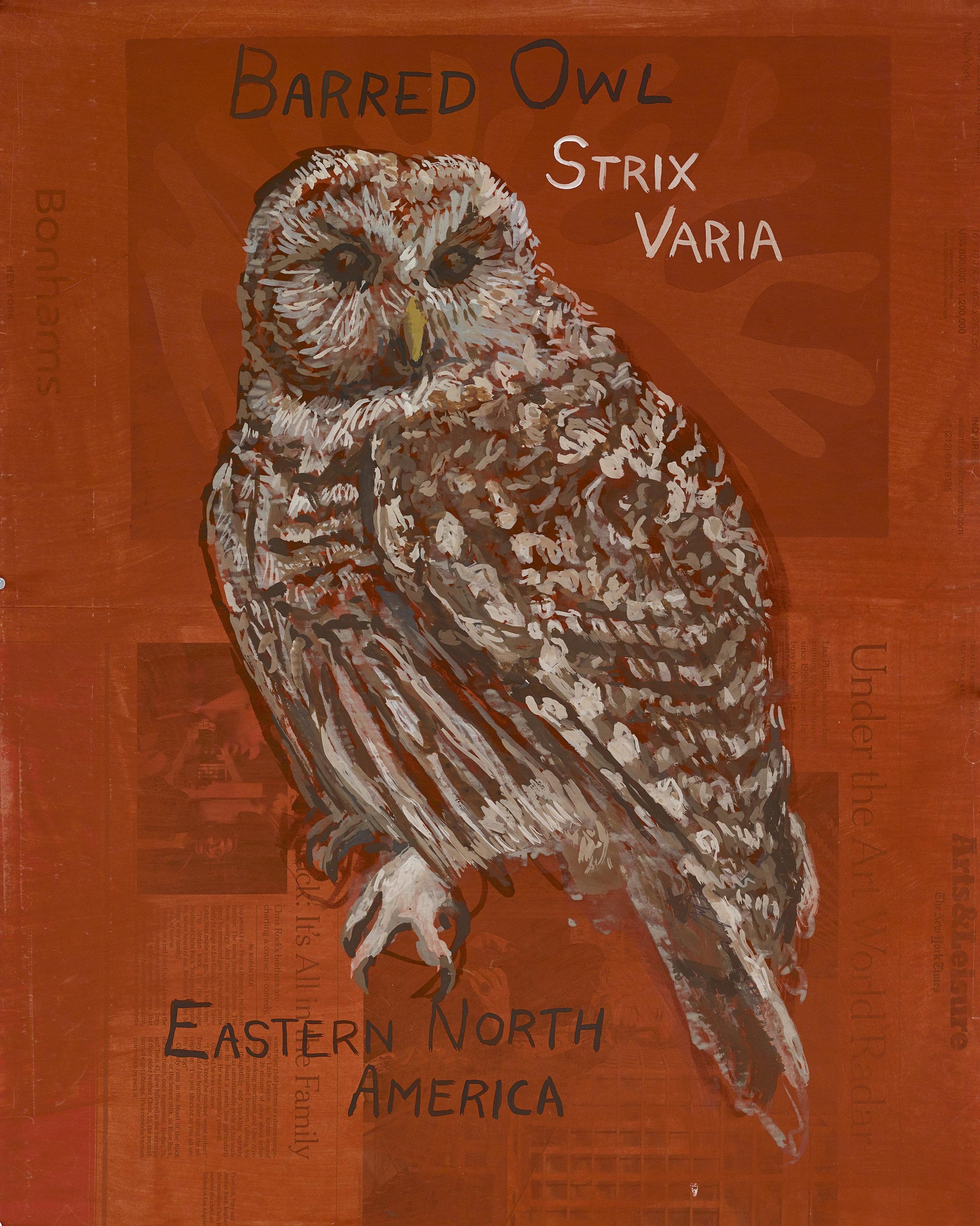 barred owl resize.jpeg