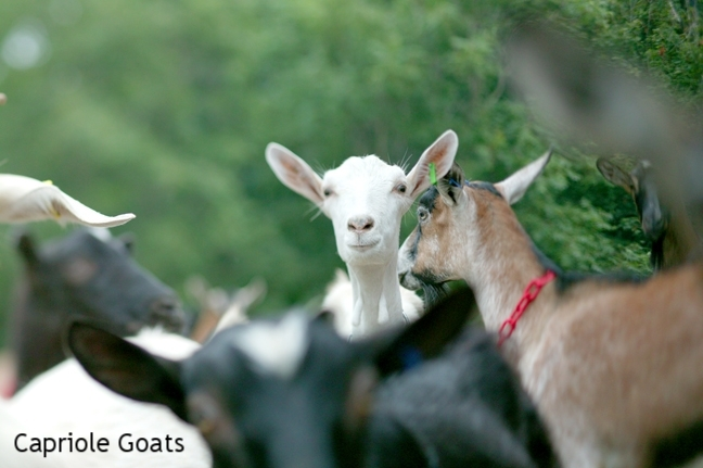 Goats & Milk Producers