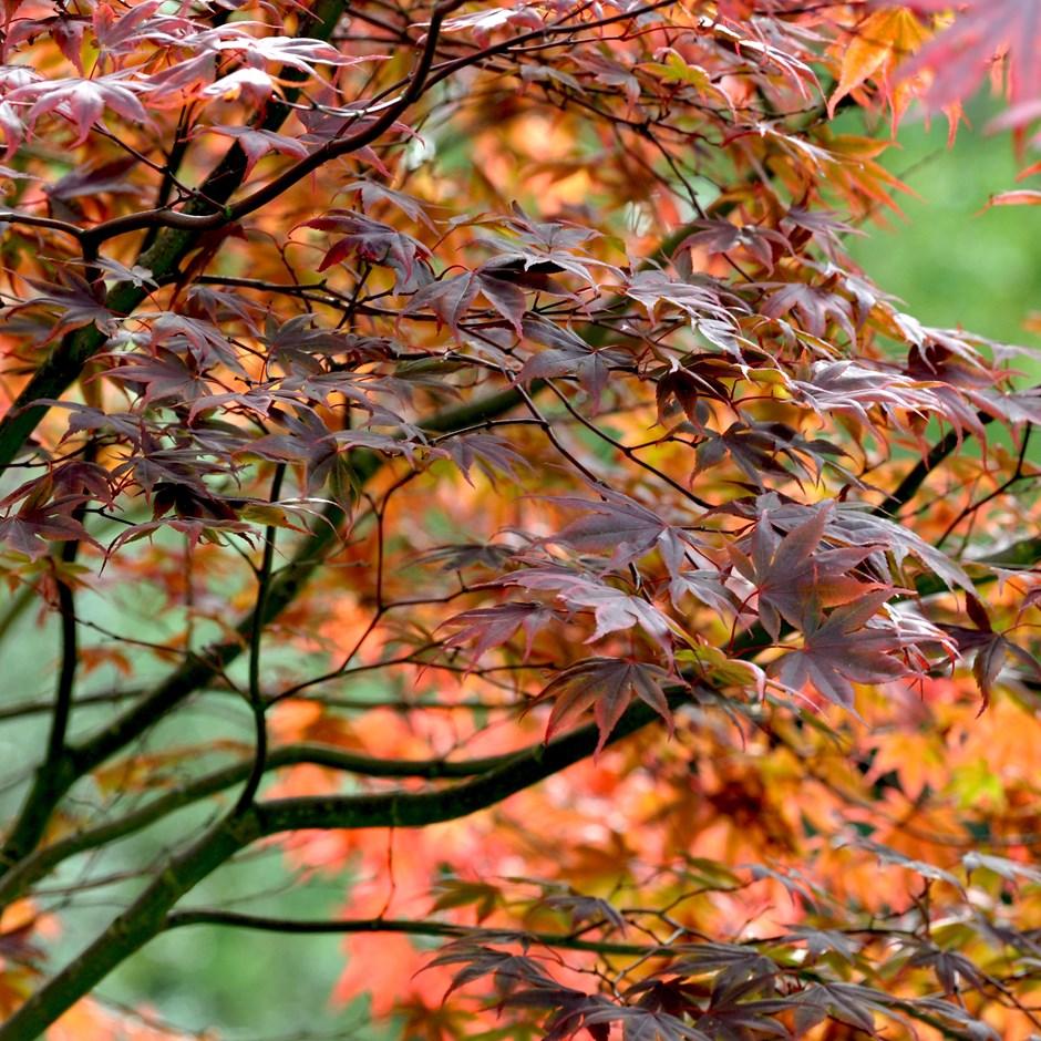Acer palmatum 'Atropurpureum'.jpg