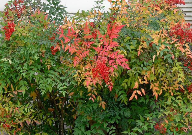 nandina-domestica-automne-haie.jpg