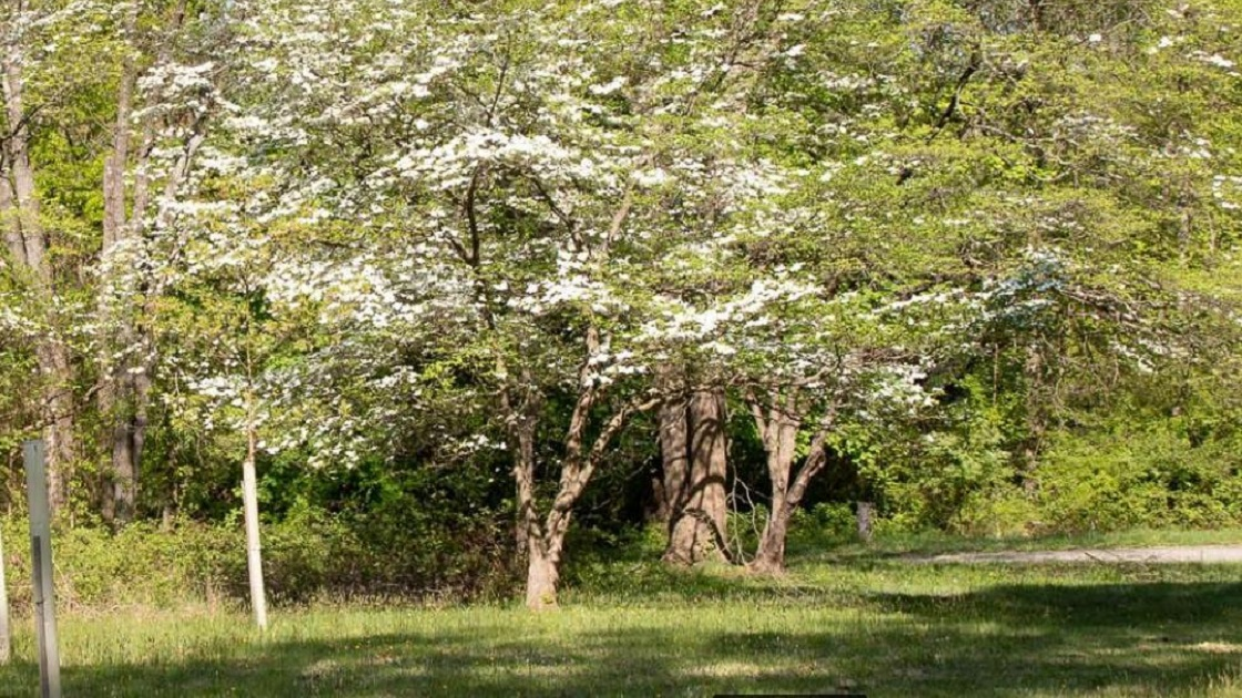 The Freedom Valley Chronicles:   Dogwood Trees In Bloom In Fort Washington