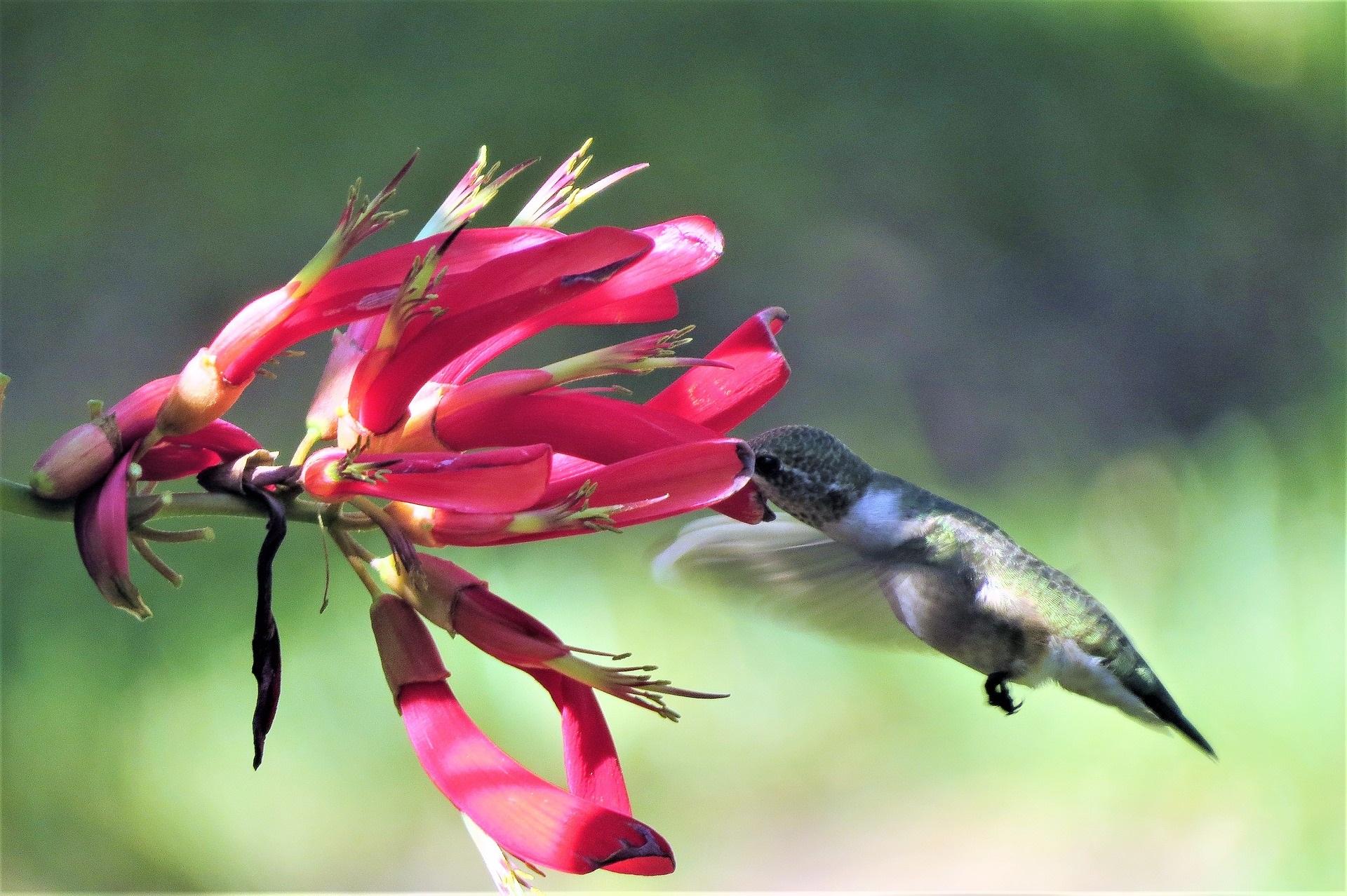 Hummingbird - Produced by GeorgeB2 from Pixabay.jpg