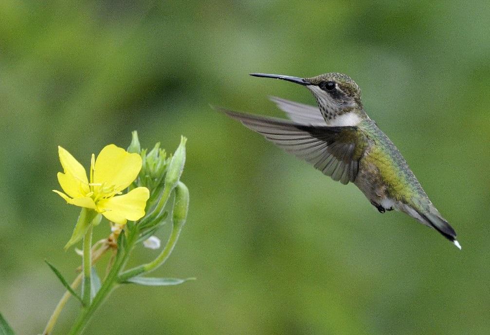 Hummingbird - Produced by Bill Thompson for the United States Fish and Wildlife Service - Quabbin Reservoir near South Athol, Massachusetts.jpg