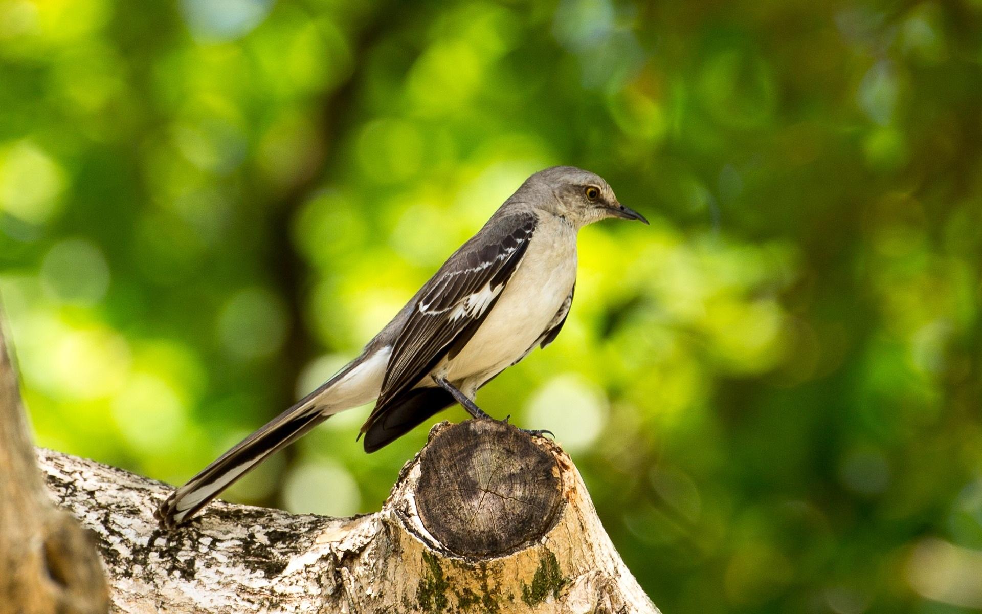 Mockingbird - Image by Rick (dirtdiver38) from Pixabay.jpg