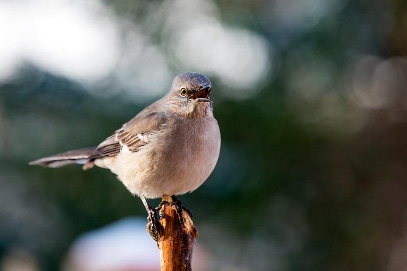 Mockingbird - Image by N Lewis of the National Park Service at Shenandoah National Park.jpg