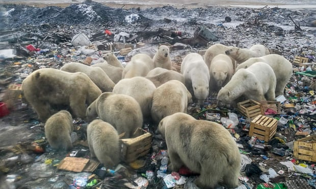 The destruction of Arctic ecosystems forces animals to search for food on land, such as these polar bears in northern Russia. Photograph: Alexander Grir/AFP/Getty Images