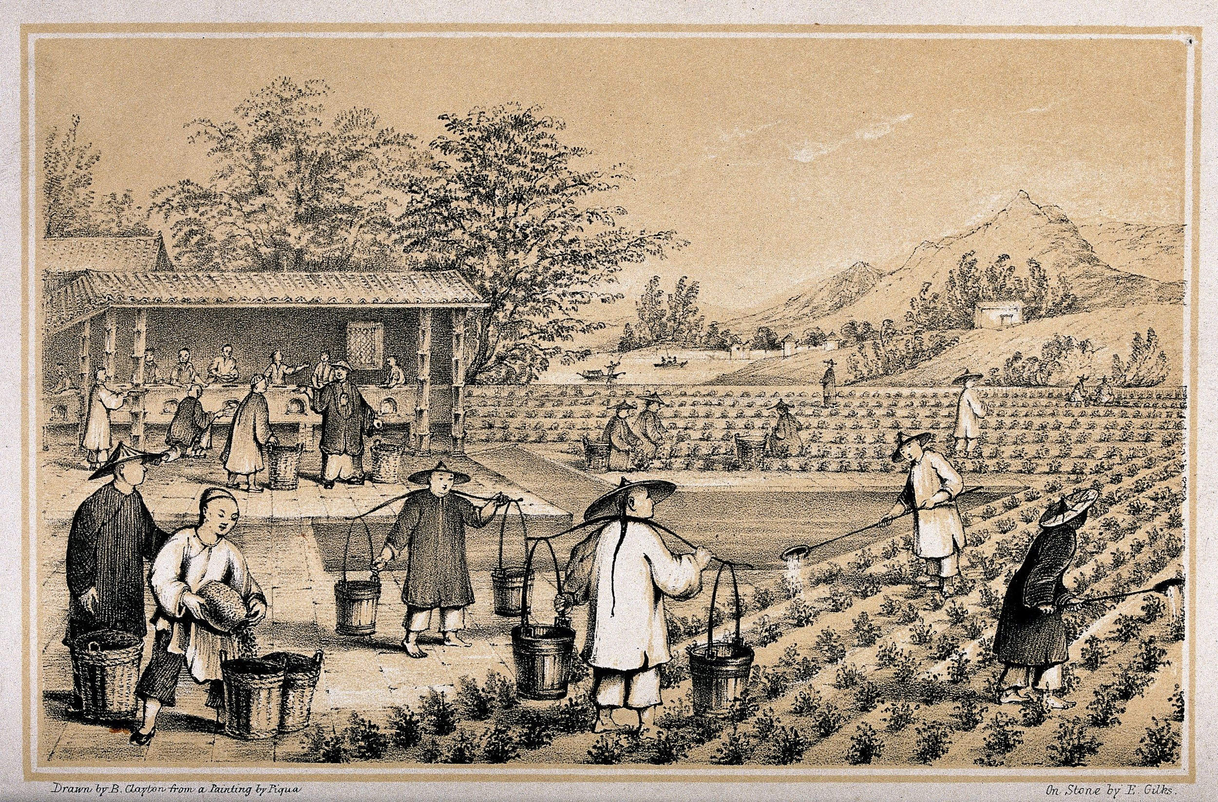 A Chinese Tea Plantation
