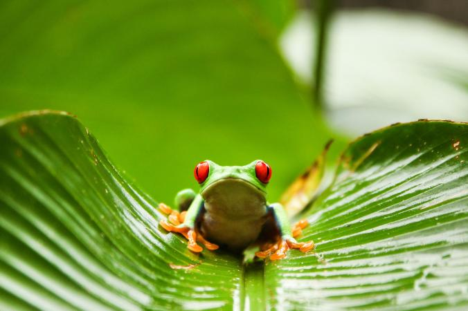 tree frog osa.jpg