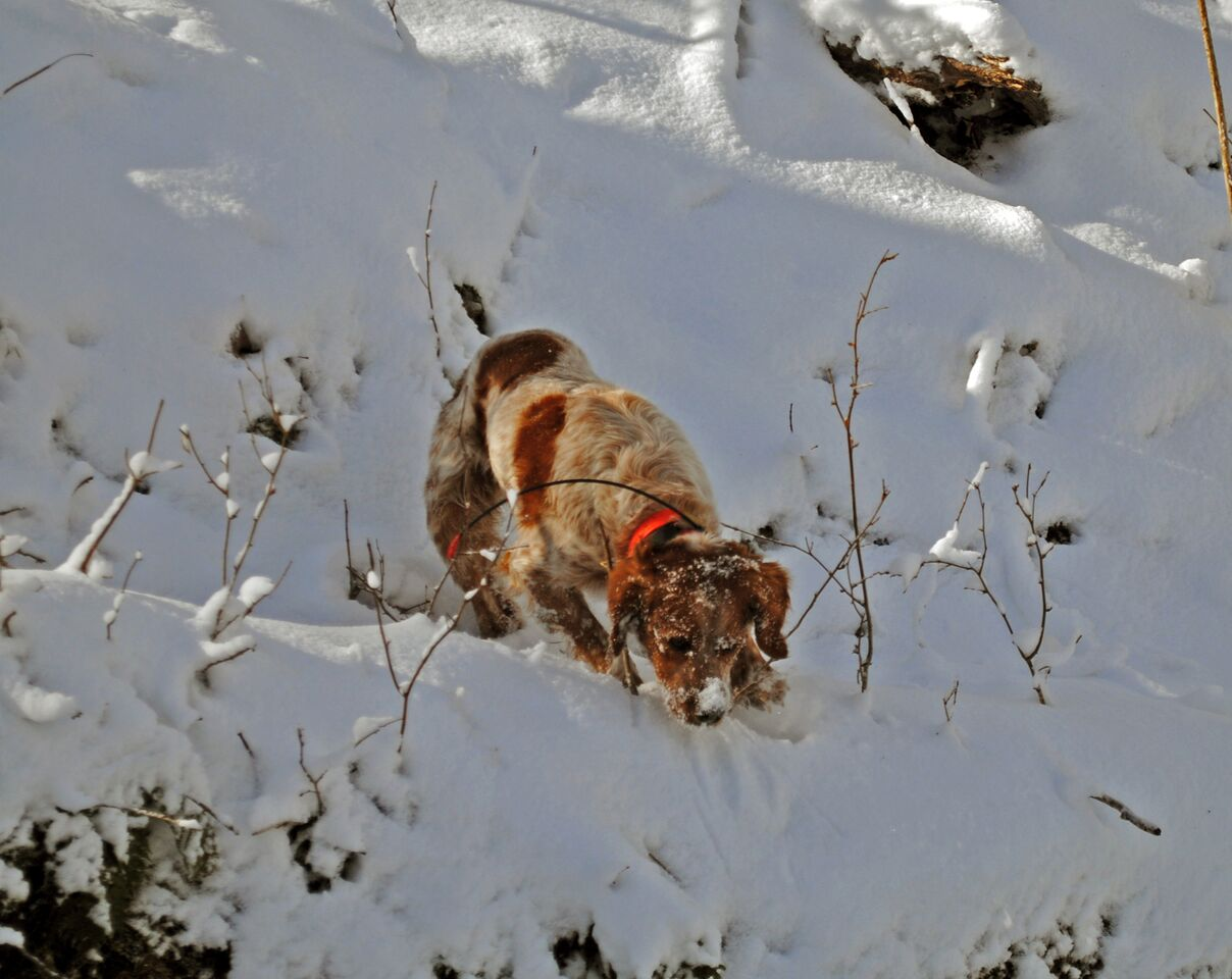 Kona inspecting a snow covered log (photo credit: Justin Madron)