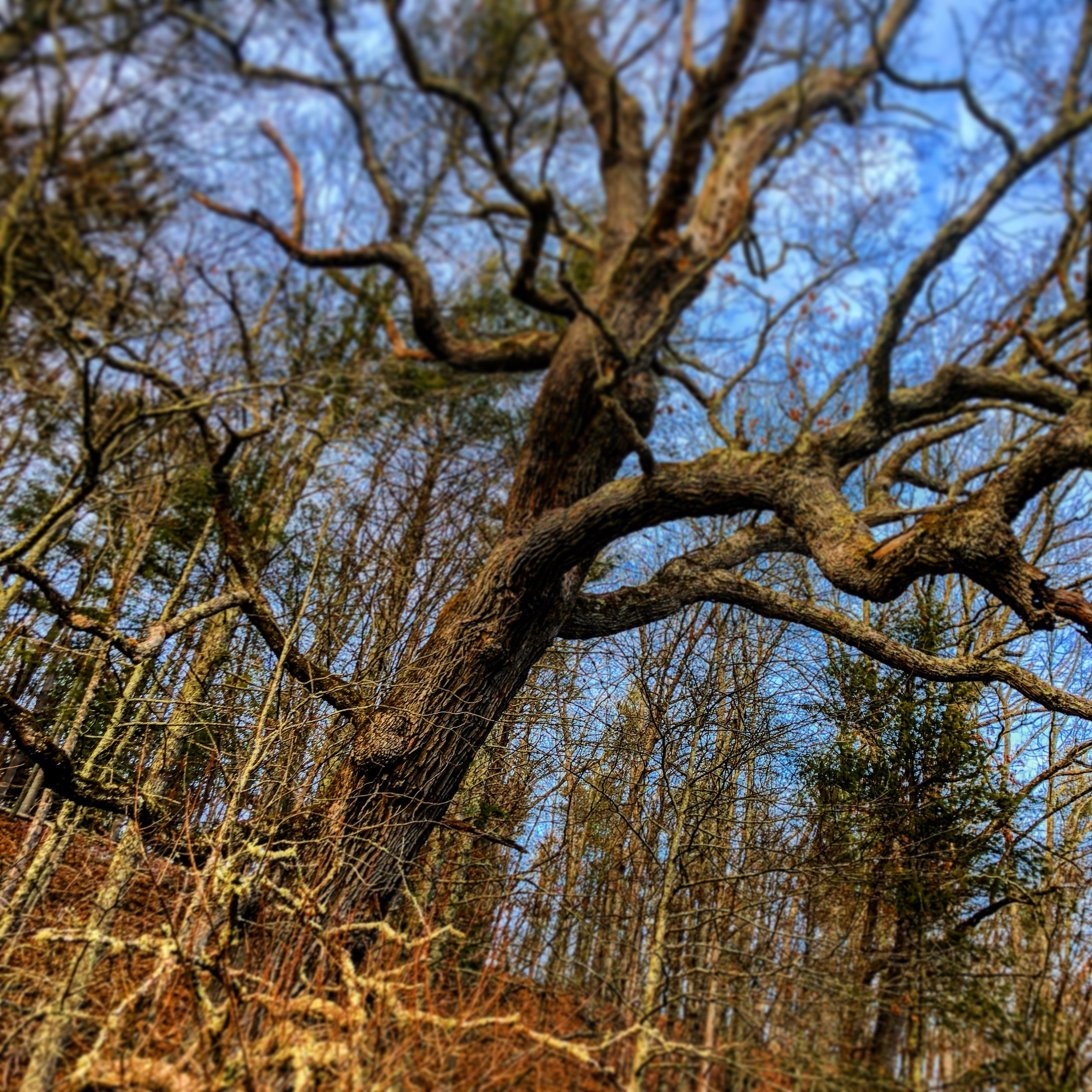 An old, gnarly,and impossibly beautiful tree in the low hunt forest