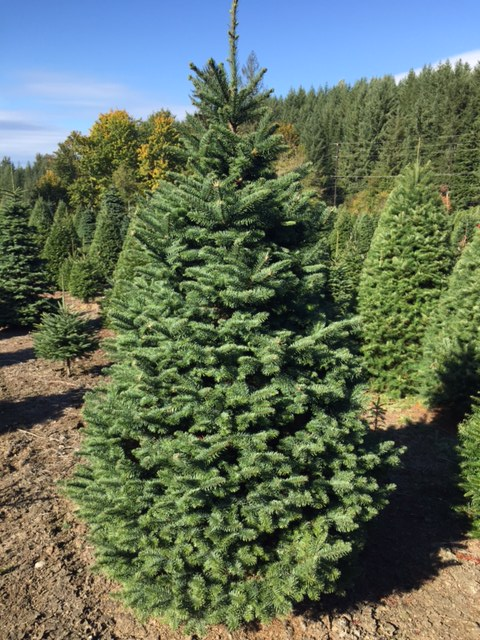 Holiday_Plantation_Noble_Fir_Abies_procera_Rehd.jpg