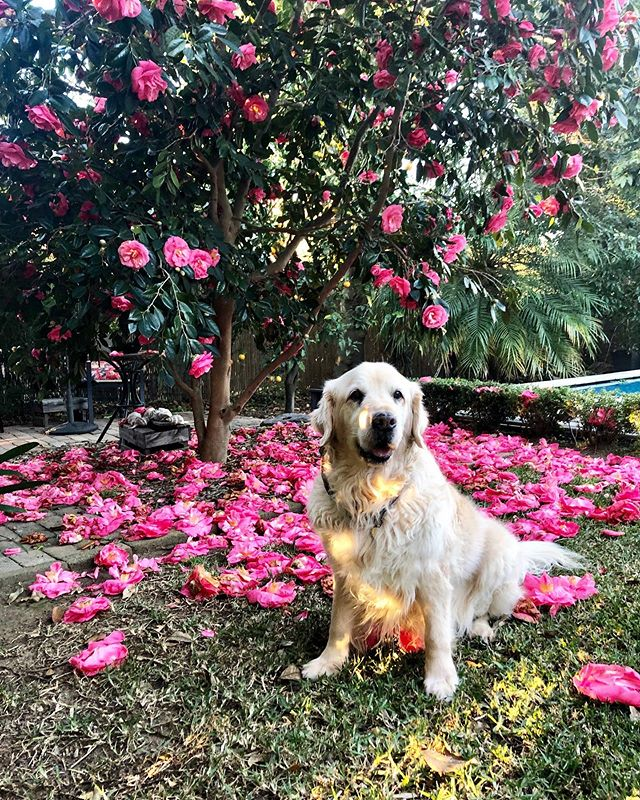 Golden doggo, golden hour